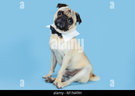 A cute fawn pug wearing a bow tie as a collar with a blue background. - Stock Photo