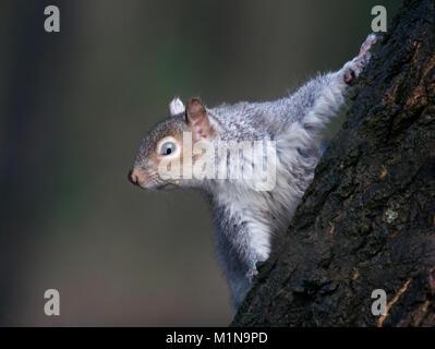 Grey Squirrel, Sciurus carolinensis, on tree trunk in Lancashire, UK - Stock Photo