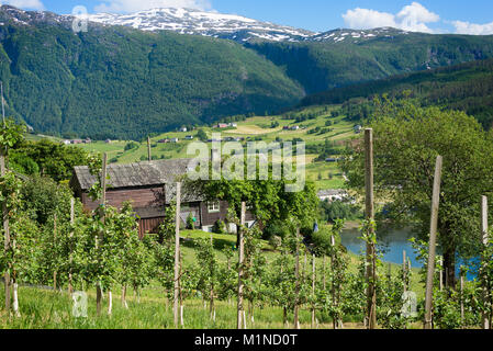 Fruit trees in an orchard on the hills around the Hardanger fjord with mountains with snow behind it showing the - Stock Photo
