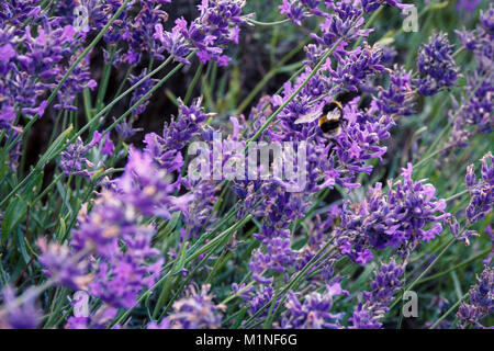 Bee pollinating herbal lavender flowers in a field.  England, UK - Stock Photo