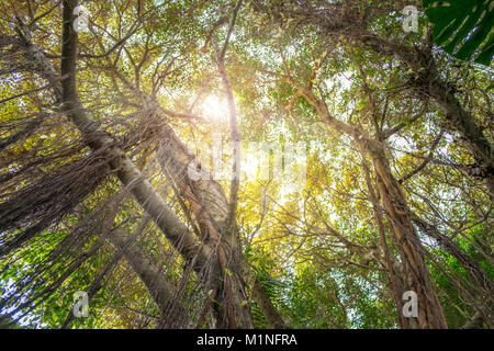 looking up insde jungle - trees in rainforest - Stock Photo