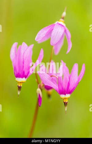 Closeup of Shooting Star (Dodecatheon pulchellum) wildflowers in late spring at Eklutna Flats in Southcentral Alaska. - Stock Photo
