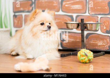 Dog breed Pomeranian beige color lying on the floor near his toys and cups - Stock Photo