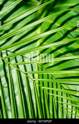 Bright green palm fronds casting patterned shadows on a large banana leaf in a textured tropical background - Stock Photo