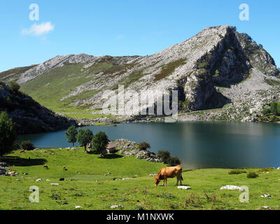 View of a cow at Lake Enol in Lakes of Covadonga, Asturias - Spain - Stock Photo
