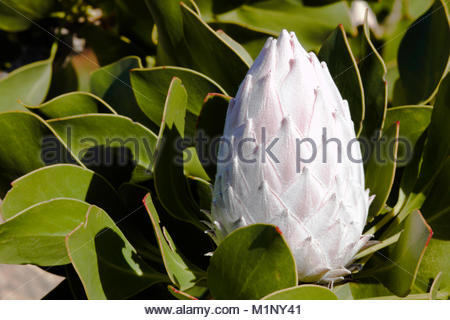 Closed Flower Bulb Of King Protea (protea cynaroides) - Stock Photo