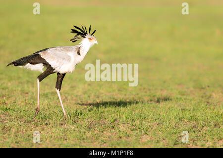 Secretary bird, Masai Mara, Kenya, East Africa, Africa - Stock Photo