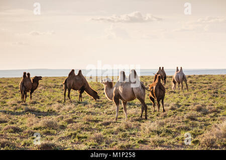 Camels grazing, Ulziit, Middle Gobi province, Mongolia, Central Asia, Asia - Stock Photo