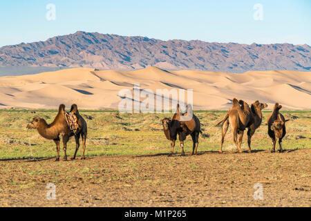 Camels and sand dunes of Gobi desert in the background, Sevrei district, South Gobi province, Mongolia, Central - Stock Photo