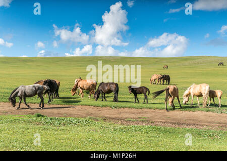 Horses grazing on the Mongolian steppe, South Hangay, Mongolia, Central Asia, Asia - Stock Photo