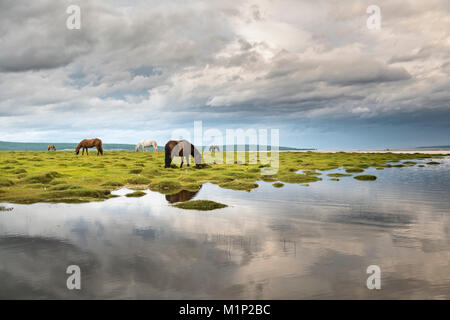 Horses grazing on the shores of Hovsgol Lake, Hovsgol province, Mongolia, Central Asia, Asia - Stock Photo