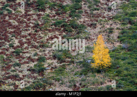 Silver birch (Betula pendula) in autumn colors,Rosannaschlucht,St. Anton am Arlberg,Tyrol,Austria - Stock Photo