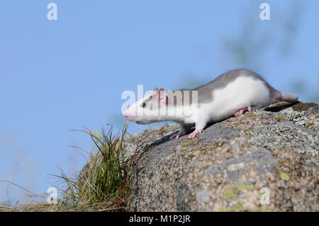 Fancy rat (Rattus norvegicus forma domestica) on a rock - Stock Photo