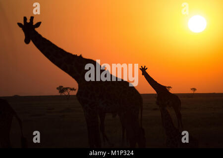 Silhouettes of giraffe (Giraffa camelopardalis) at sunset, Serengeti National Park, Tanzania, East Africa, Africa - Stock Photo