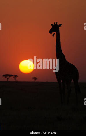 Silhouette of giraffe (Giraffa camelopardalis) at sunset, Serengeti National Park, Tanzania, East Africa, Africa - Stock Photo