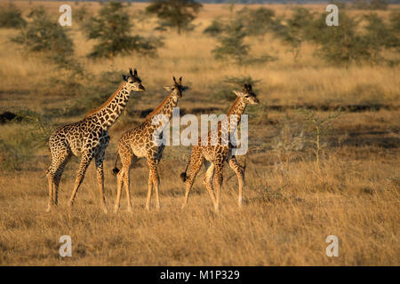 Young giraffes (Giraffa camelopardalis), Serengeti National Park, Tanzania, East Africa, Africa - Stock Photo