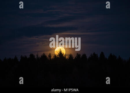The january super moon rises behind trees in the forest early in the evening - Stock Photo