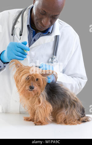 Vet giving an injection to a Yorkshire terrier in front of white a background - Stock Photo
