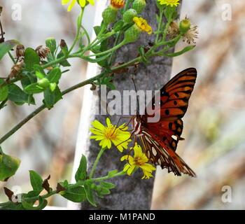 Orange butterfly sitting on yellow flower at Navarre Beach, Florida - Stock Photo