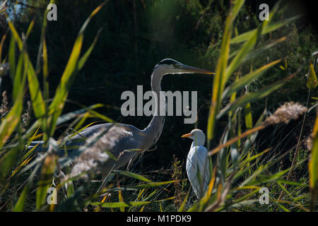 Gray heron and Western cattle egret in the Pont de Gau Ornithological Park of the Camargue - Stock Photo