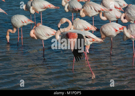 Flamingos, Phoenicopterus roseus, of the Camargue in the south of France - Stock Photo