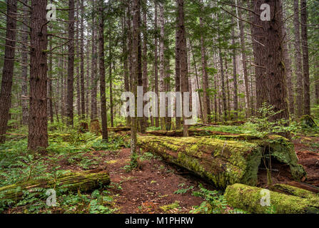 Temperate rain forest around Buttle Lake campground in Strathcona Provincial Park, Vancouver Island, British Columbia, - Stock Photo