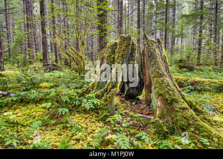 Old tree stumps at rain forest around Buttle Lake campground in Strathcona Provincial Park, Vancouver Island, British - Stock Photo