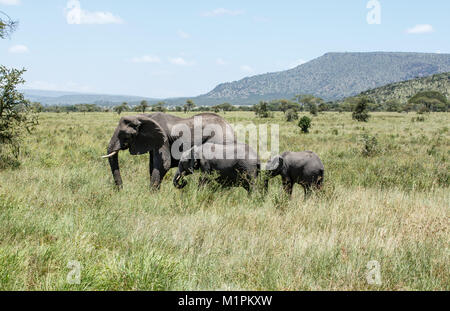 An African Elephant with two generations of calves - Stock Photo
