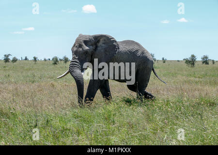 An African Elephant - Stock Photo