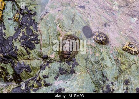 Japanese common chiton (Acanthopleura japonica) and other marine molluscs; Sadamisaki Peninsula, Shikoku, Japan - Stock Photo