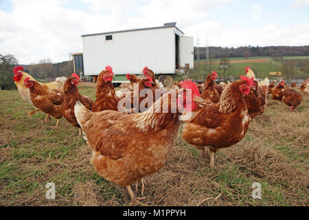 Chickens in free-range farming with discharge in a meadow. In the background is a mobile chicken house., Hühner in Freilandhaltung mit Auslauf auf ein
