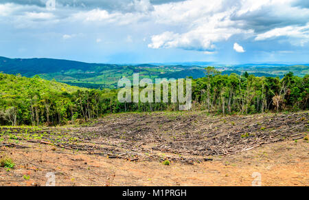 Wiped tree in the eucalyptus production forest. Minas Gerais , Brazil. - Stock Photo