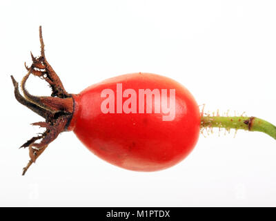 Rosehip Rosa canina, fruit of the wild rose or dog rose. Free plates., Hagebutte Rosa canina, Früchte der Heckenrose - Stock Photo