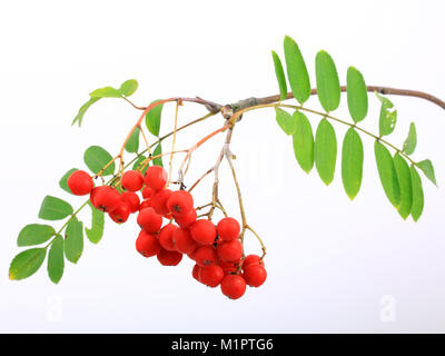 Rowan Sorbus aucuparia, berry fruits of the birds or free plates., Früchte der Vogelbeere oder Eberesche Sorbus - Stock Photo