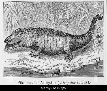 An 1889 illustration from Chamber's Encyclopedia   of a PIKE HEADED ALLIGATOR, CAIMAN   or CAYMAN (Alligator Lucius) - Stock Photo