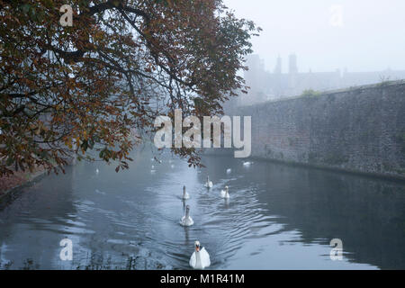 Swans and cygnets on the moat of the Bishop's Palace on a foggy autumnal November morning in the city of Wells, - Stock Photo
