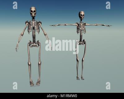 Male & Female Human Skeletons - Stock Photo