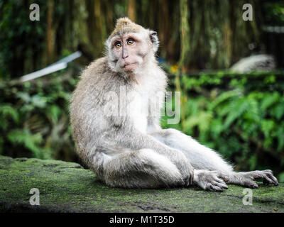 Monkey looking around. Facial expression of animal. Portrait of blue and resigned macaque. - Stock Photo