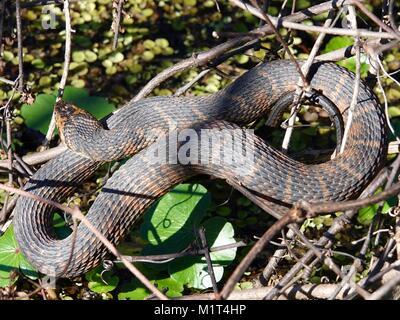Brown water snake (Nerodia taxispilota). Gainesville, Florida, USA - Stock Photo
