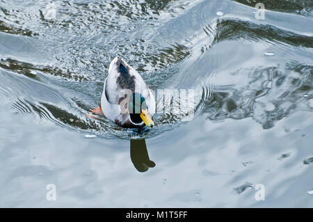 Mallard duck swimming in the river, from above - Stock Photo
