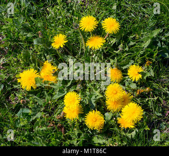 Early spring flowers yellow dandelions on green grass. Taraxacum officinale - Stock Photo