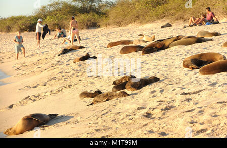Galápagos sea lions (Zalophus wollebaeki) and tourists enjoy the last of the afternoon's sun on the sandy beach - Stock Photo