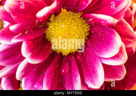 Pink daisy flower with yellow center and water drops - Stock Photo
