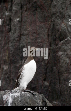 single adult Guillemot, Uria aalge, perched on cliff edge, Farne Islands, UK - Stock Photo