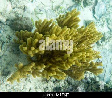 Yellow gorgonian coral in Togian islands, Sulawesi, Indonesia - Stock Photo