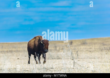 A American bison calf walks in the baron lasnscape of the Tallgrass Prairie Preserve in Pawhuska, Oklahoma - Stock Photo
