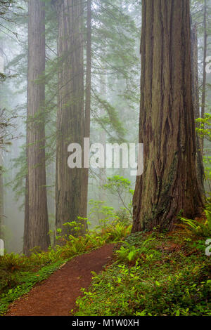Redwoods and rhododendrons along the Damnation Creek Trail in Del Norte Coast Redwoods State Park, California, USA - Stock Photo