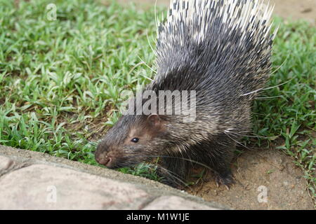 Portrait of cute porcupine. The Malayan porcupine or Himalayan porcupine (Hystrix brachyura) is a species of rodent - Stock Photo