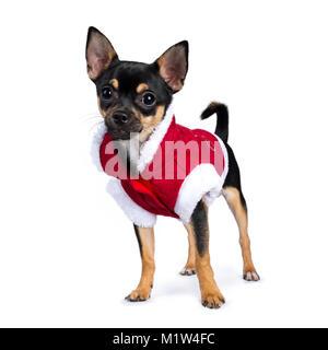 black chiwawa dog standing side ways wearing cute christmas jacket isolated on white background - Stock Photo