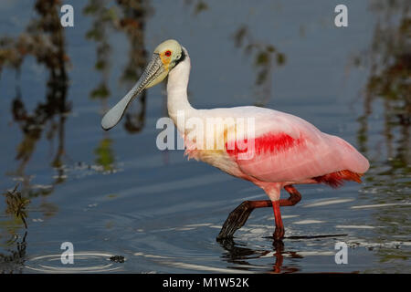 Roseate Spoonbill (Platalea ajaja) foraging in a lagoon - Merritt Island Wildlife Refuge, Florida - Stock Photo